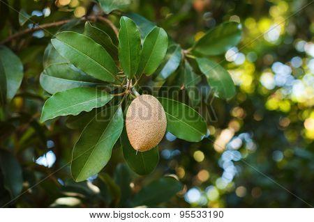 Fruit Of Manilkara Zapota, Sapodilla Tree