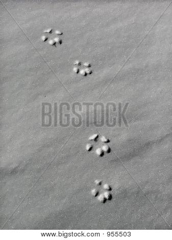Lynx Track Portrait