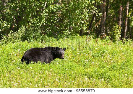 American Black Bear Forage Lush Meadow