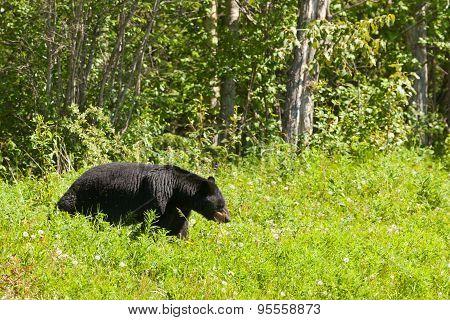 American Black Bear Forage Meadow Greens