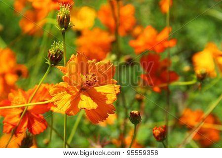 Garden flowers orange Cosmea