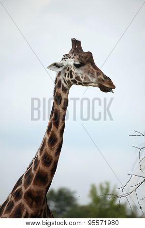 Rothschild's giraffes (Giraffa camelopardalis rothschildi). Wildlife animal.