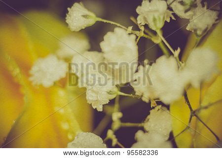 Gypsophila Flowers