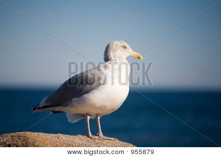 Seagull Resting On Rock By The Ocean 069