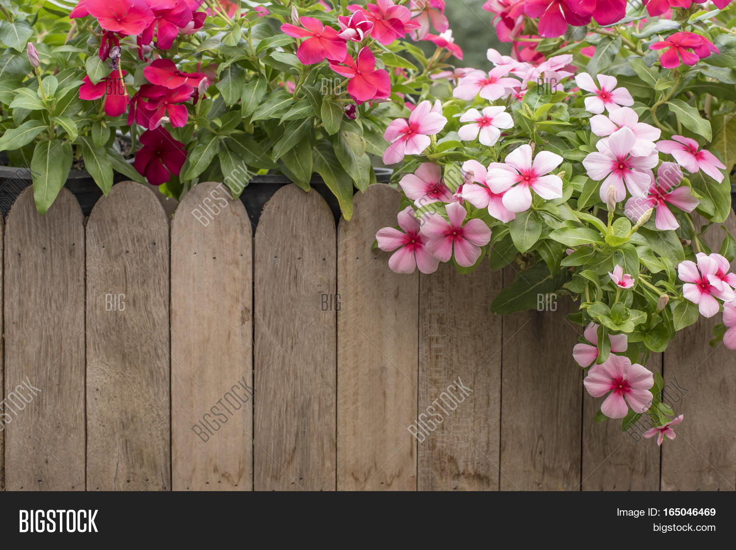 Pink Red Periwinkle Image Photo Free Trial Bigstock
