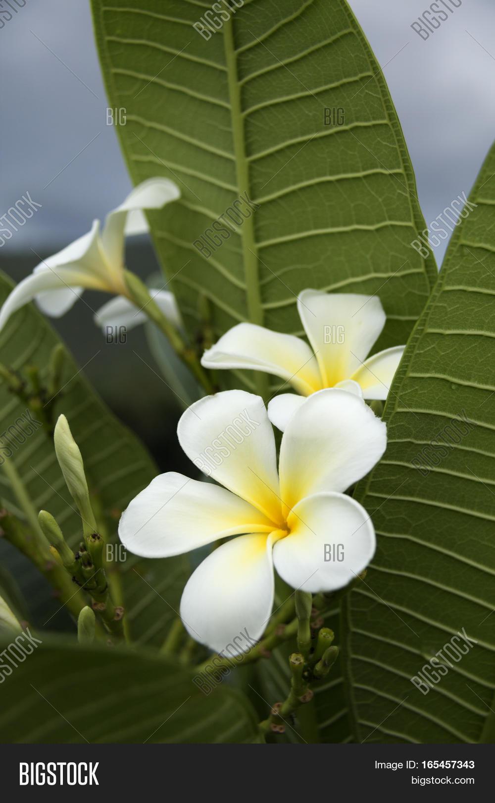 Five Petal White Image Photo Free Trial Bigstock