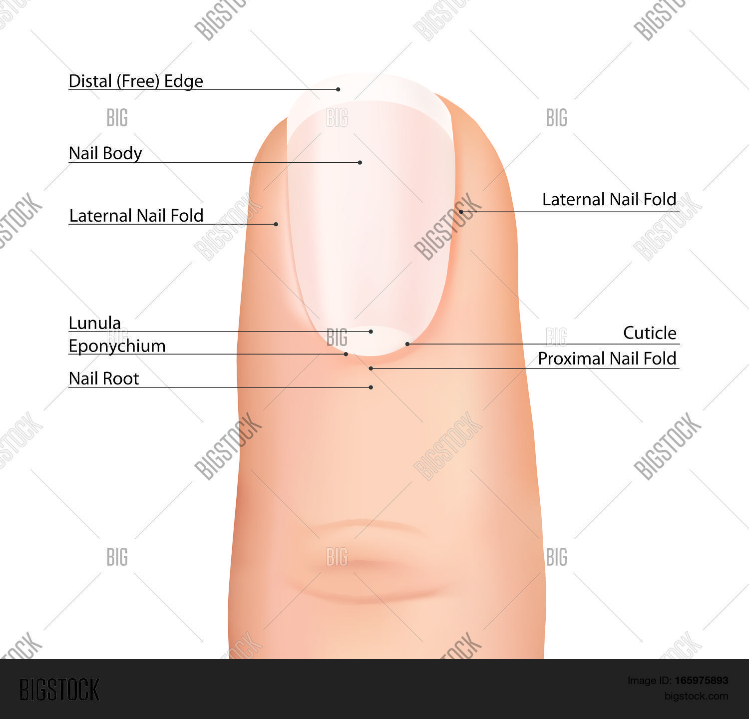 Nail Finger Anatomy Vector Photo Free Trial Bigstock