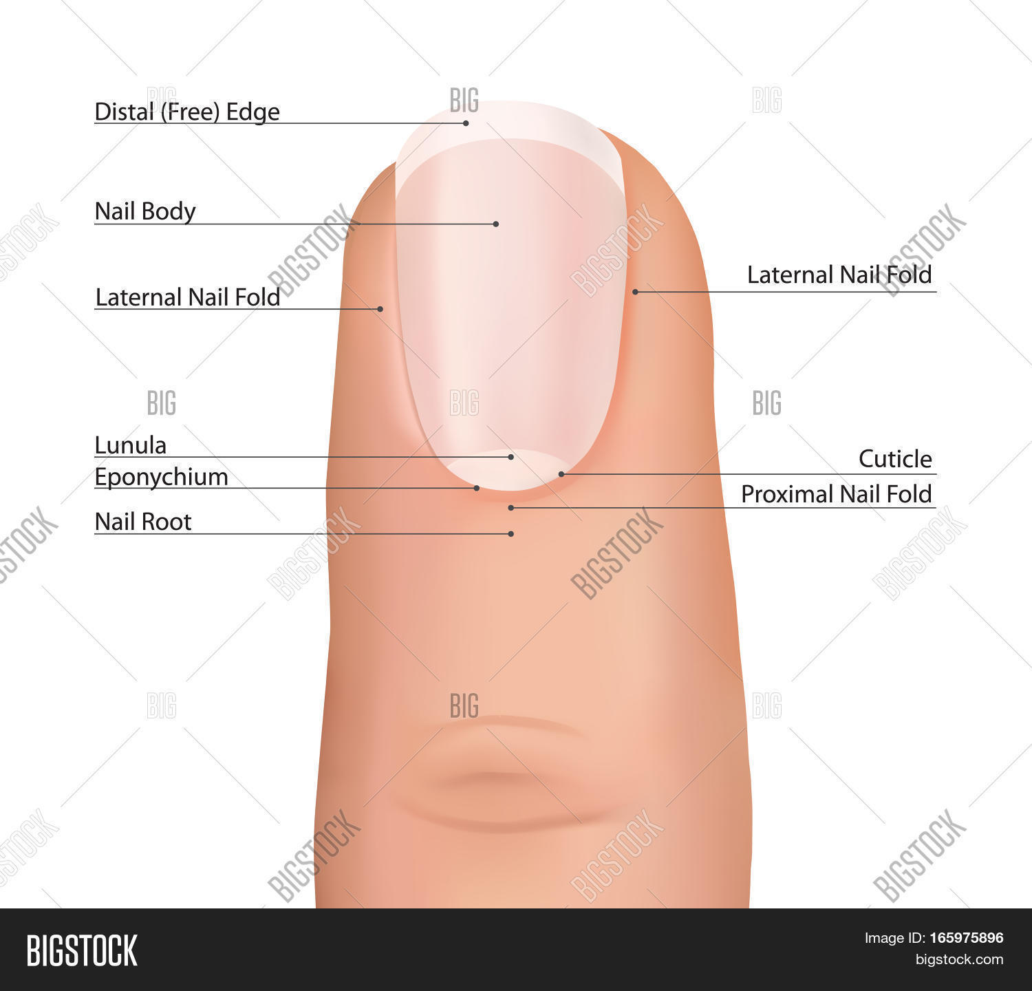 Nail Finger Anatomy Fingernail Ilration Human Isolated