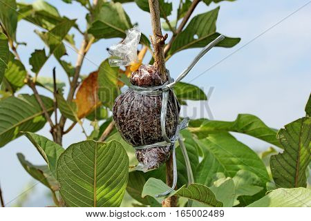 Kaffir Lime Gardening, Kaffir Lime Fruits On Tree.