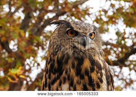 Autumn portrait of a Eurasian Eagle Owl that is also known as an European Eagle Owl or Bubo Bubo