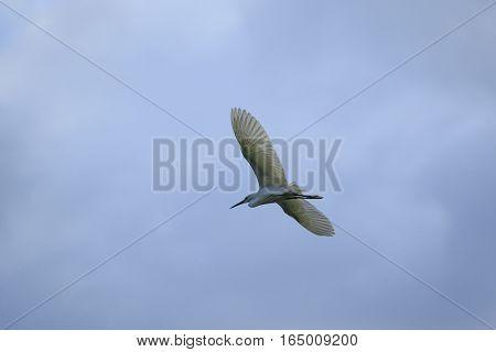 little egret bird flying against blue sky