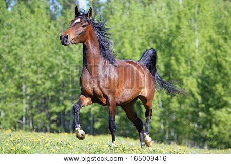 Beautiful Bay Arabian Mare trotting on meadow of flowers