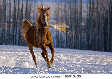Arabian chestnut Stallion galloping in a snowy field in late winter.