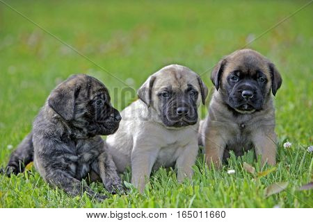 Three English Mastiff Puppies four weeks together on grass