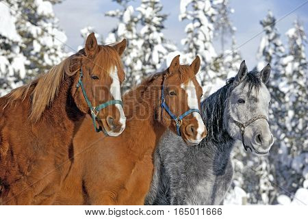 Chestnut and gray Arabian Horses standing together at winter pasture