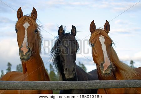 Three young Horses standing together behind wooden fence watching.