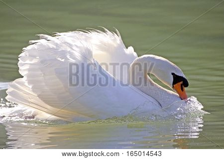 Mute Swan swimming in lake showing mating behaviour.