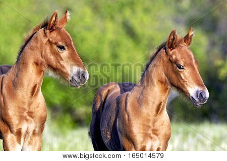 Close up of two chestnut Quarter horse Foals at pasture.