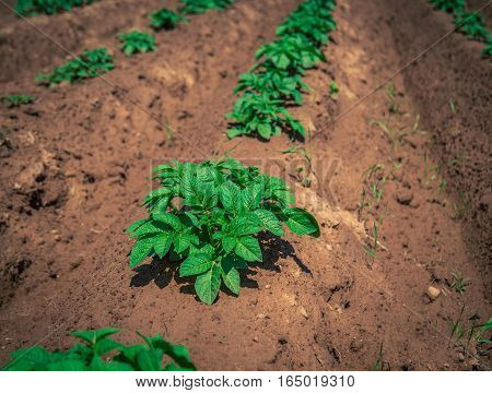Potato plant in a field in Prince Edward Island