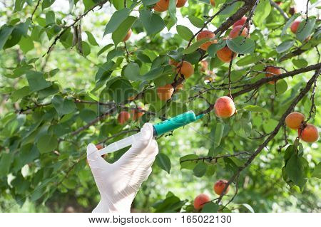 Genetically modified apricot. Needle and syringe injecting representing genetically modified fruit.