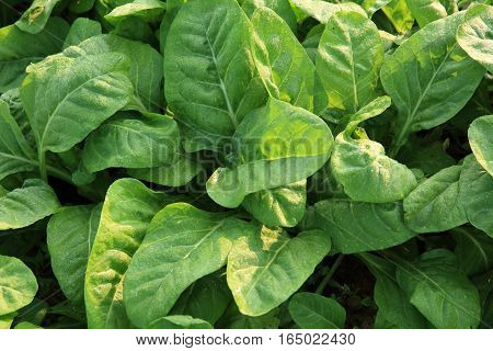 green silver beet plants in growth at garden