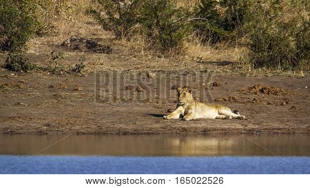 Lion in Kruger national park, South Africa ; Specie Panthera leo family of Felidae