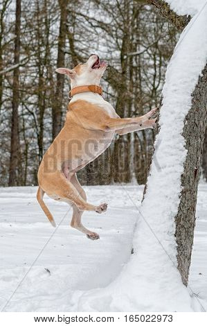 Staffordshire bull terrier in the jump on the tree