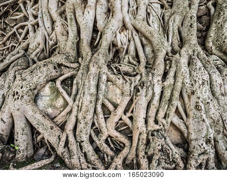 Roots of trees growing on the wall of Fasilida's pool enclosure in Gondar Ethiopia.