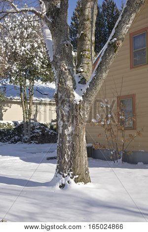 Tree trunk with snow covered branches Oregon.