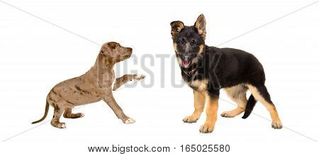 Puppies pit bull and German Shepherd together isolated on white background