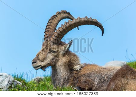 Natural alpine ibex sitting in meadow with blue sky