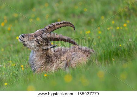 Side view portrait of natural alpine ibex capricorn in grassland