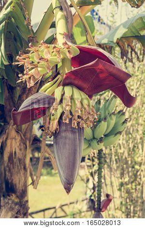Freshly opened banana flower. Delicious tropical fruit.