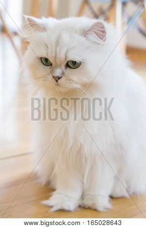 Lovely White Persian cats on the floor
