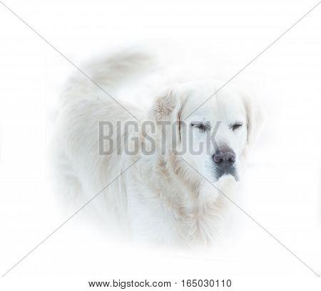 golden retriever dog in a high key