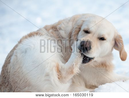 dog cleaning out the snow from paws