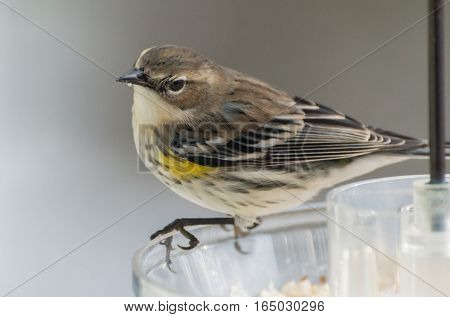 Yellow-rumped warbler looking for meal at feeder