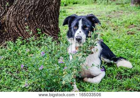 Border Collie dog resting under tree next to purple flowers and long grass
