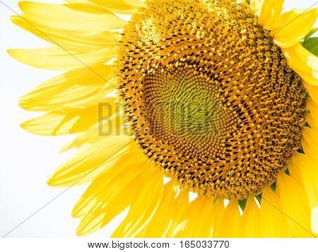 close up shot of sunflowers (Helianthus annuus)