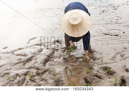 Thai farmer transplanting rice seedlings in paddy field jasmine rice in Thailand