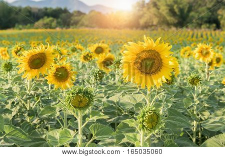 Beautiful Blooming Sunflower Field, Agriculture Plant