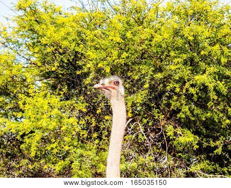 Ostrich portrait in front of Mimosa thorn tree