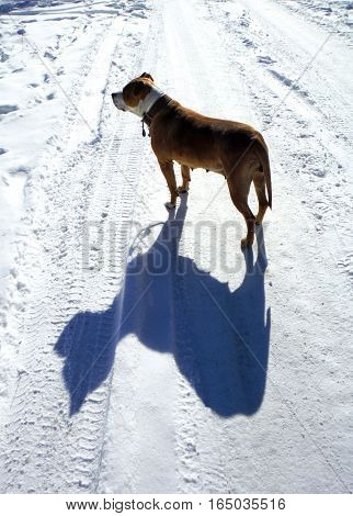 picture of a american staffordshire terrier on a snow street