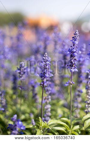 Blue salvia (Blue sage) flower. Beautiful flowers in the garden, Thailand