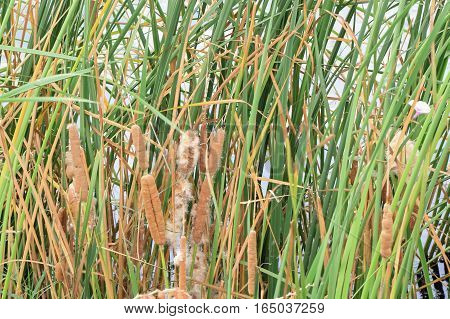 Early flowering Typha long round. This happens cage trunk and some were blown into the air.