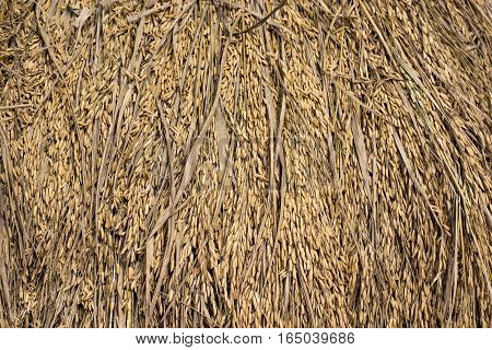 chaff straw background, Texture hay closeup in color. Fodder for livestock and construction material.