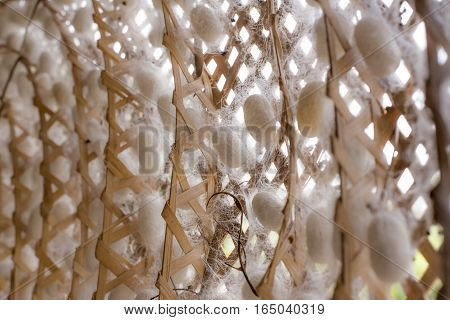 silk worm pupa in the threshing silk, Natural white cocoon or silkworm pupa, source of silk thread and silk fabric.
