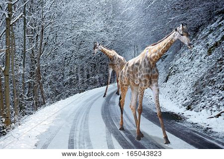 Dreaming of two giraffes walking on snowed road in winter
