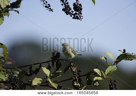 Palm Warbler (Setophaga palmarum) perched on pokeberry shrub