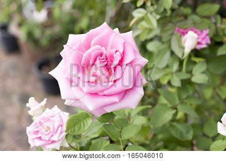 beautiful delicate pink rose in the garden
